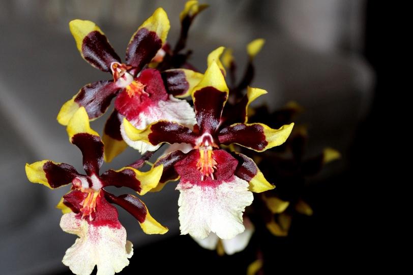 Drugačija orhideja